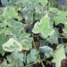 "IVY ENGLISH Live Plants Groundcover Plant - 24 Live Plants From 2"""" Plug"