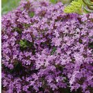 "THYME MAUVE Live Plants Groundcover Plant - 24 Live Plants From 2"""" Plug"