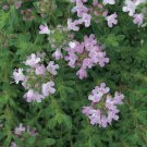 "THYME PINK CHINTZ Live Plants Groundcover Plant - 24 Live Plants From 2"""" Plug"