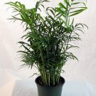 Areca Palm aka Dypsis lutescens Live Plant - Indoor Live Plant Fit 4IN Pot