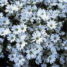 "CERASTIUM SNOW IN SUMMER Live Plants Groundcover Plant - 24 Live Plants From 2"""" Plug"