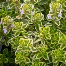 "THYME GOLDEN LEMON Live Plants Groundcover Plant - 24 Live Plants From 2"""" Plug"