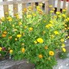 VINTAGE HEIRLOOM European moons flowers reseed themselves 2oz