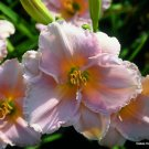 Second Thoughts Daylily 5 seeds