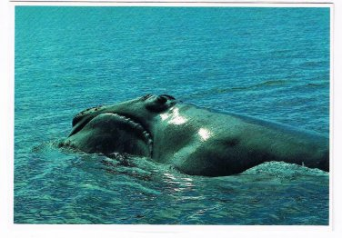 Maine Laminated Postcard RPPC Right Whale Bay of Fundy Near Lubec