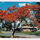 Florida Postcard Royal Poinciana Flowering Tree