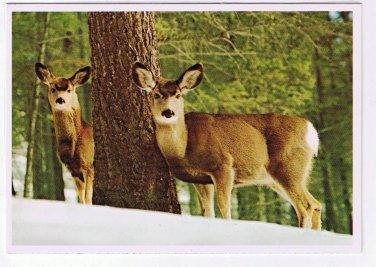 Animal Laminated Postcard RPPC Mule Deer