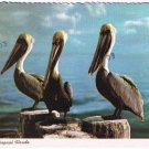 Florida Postcard Pelicans in Tropical Florida