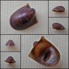 AGB37 - Neripteron rubicundum 13.58mm