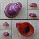AGA01 - Neripteron violaceum 17.49mm