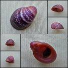 AGA04 - Neripteron violaceum 16.58mm
