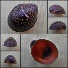 AHA40 - Neripteron violaceum 16.65mm