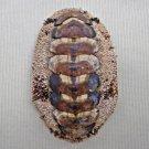 AEA18 - Acanthopleura gemmata 58.22mm