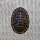 ACB31 - Ischnochiton caliginosus 12.83mm