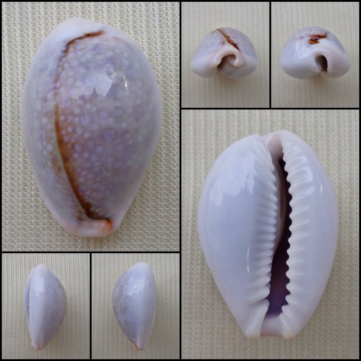 ACC23 - Erosaria boivinii 21.42mm