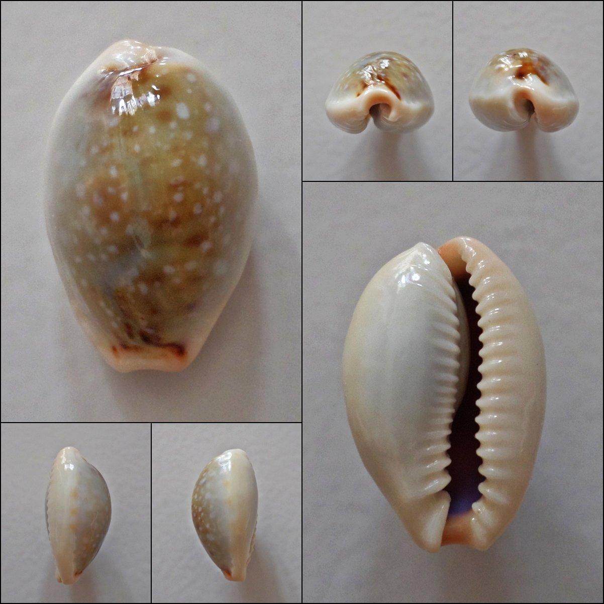 AEB11 - Erosaria boivinii 21.46mm