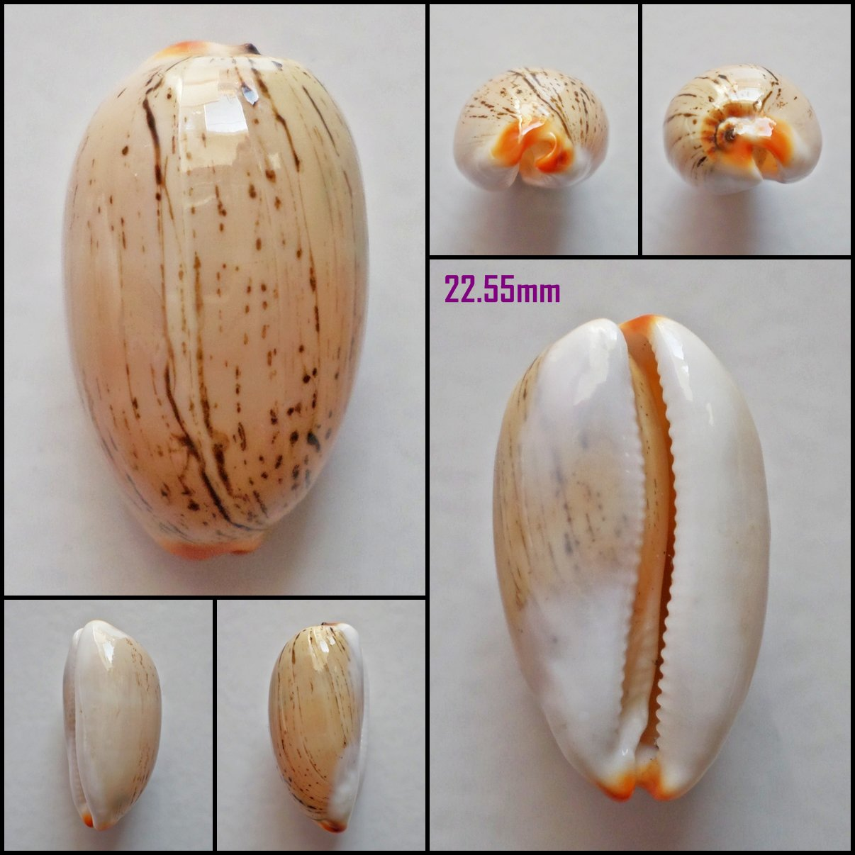 AFA18 - Luria isabella 22.55mm