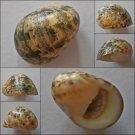 ACB17 - Nerita antiquata 24.16mm