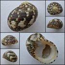 ABB23 - Nerita chamaeleon 25.76mm