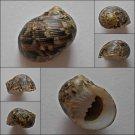 ACA01 - Nerita trifasciata 30.04mm