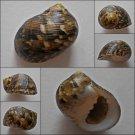 ACA03 - Nerita trifasciata 31.54mm