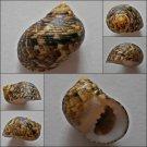 ACA06 - Nerita trifasciata 27.21mm