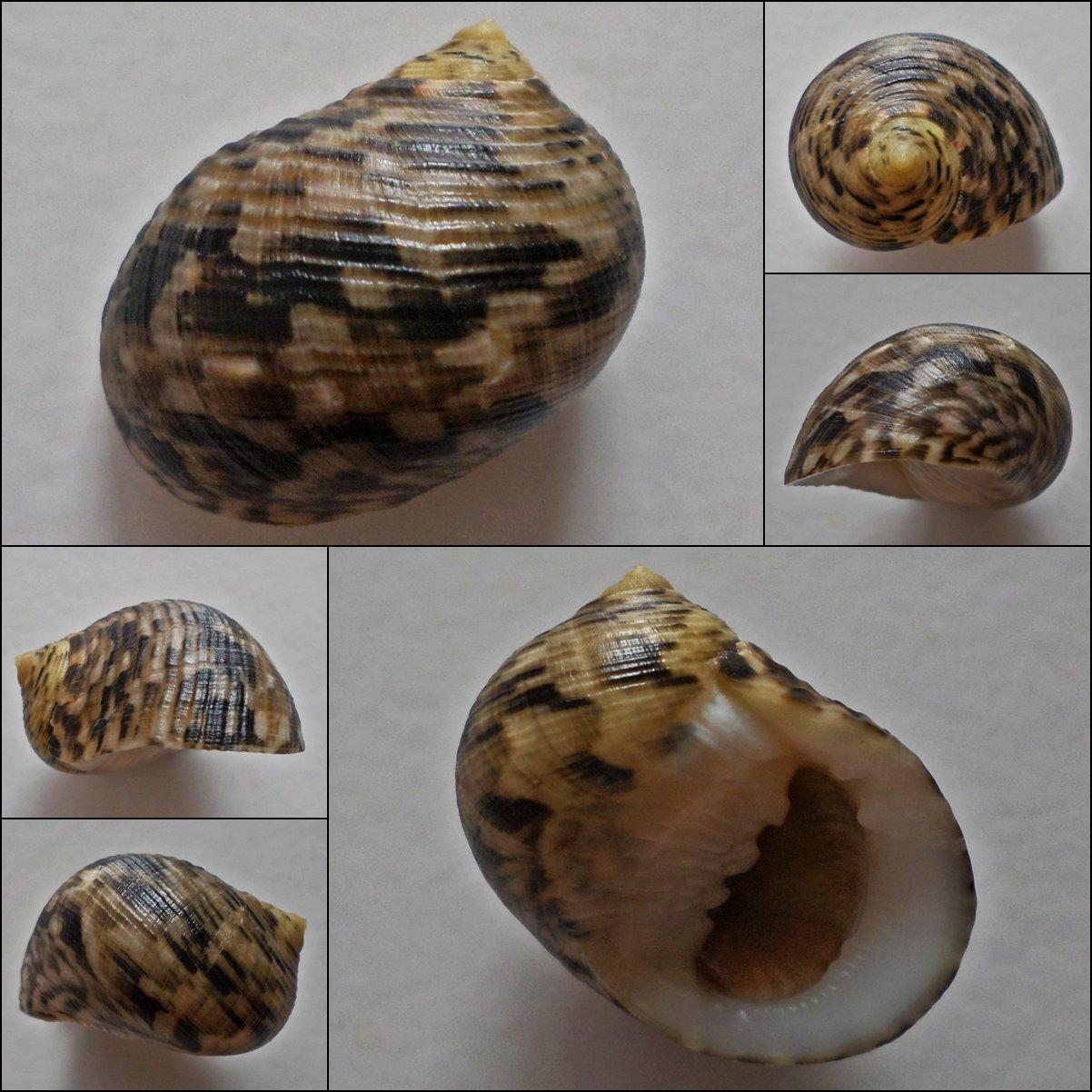 ACA07 - Nerita trifasciata 27.41mm