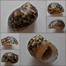 ACA08 - Nerita trifasciata 29.02mm