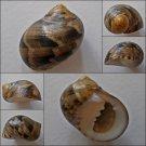 ACB07 - Nerita trifasciata 26.12mm