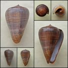 BAC06 - Dendroconus figulinus 41.20mm