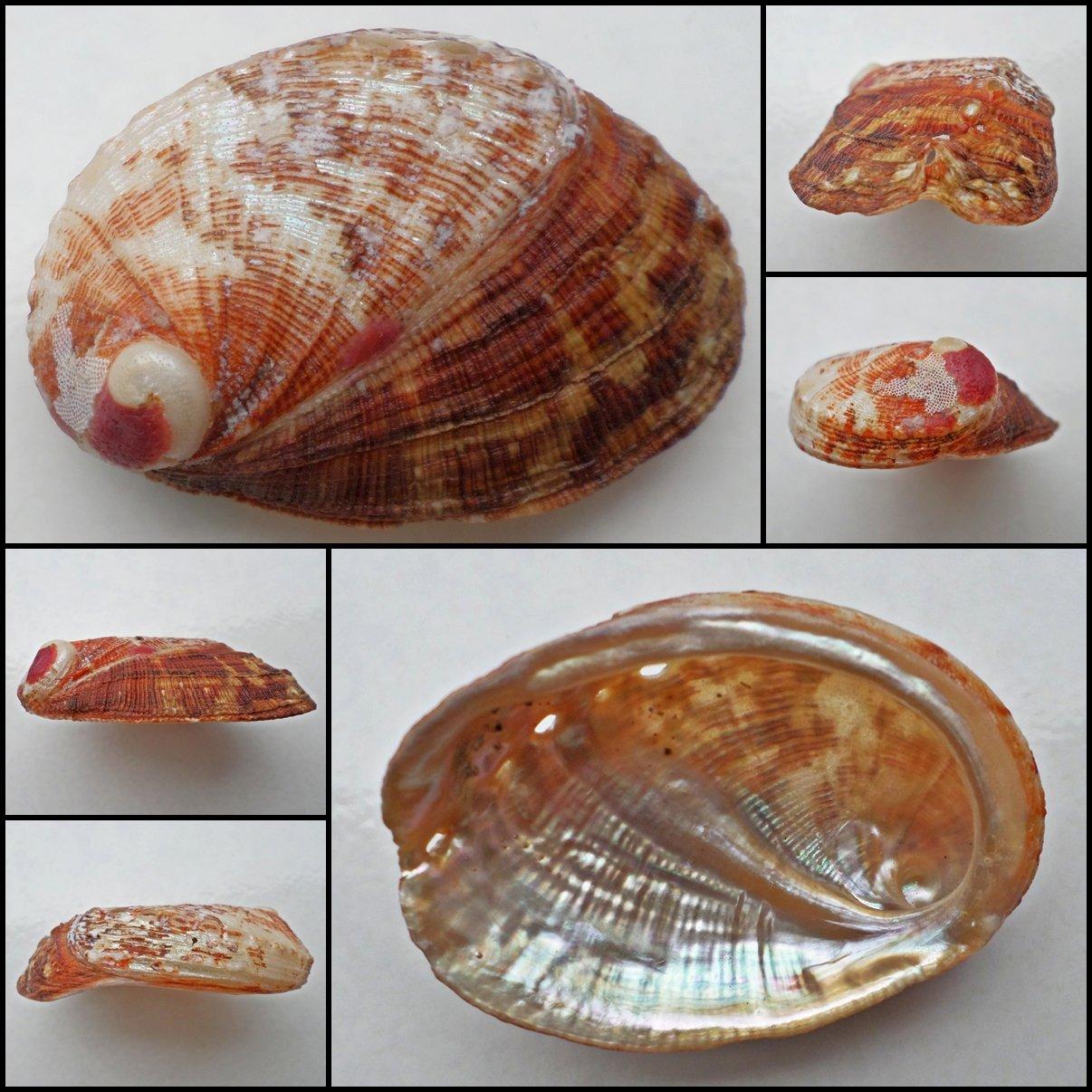 BCA13 - Haliotis diversicolor squamata 59.26mm