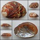 BCA15 - Haliotis diversicolor squamata 57.06mm