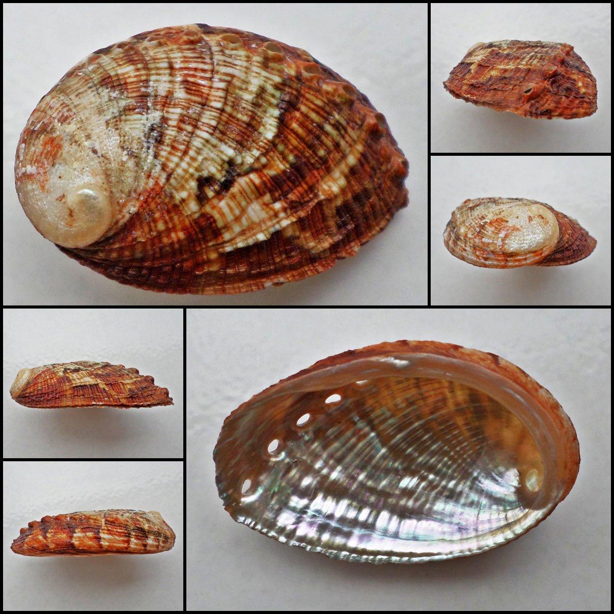 BCA16 - Haliotis diversicolor squamata 50.64mm