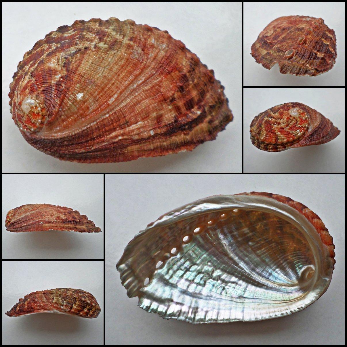 BCC15 - Haliotis diversicolor squamata 74.53mm