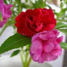 30 Garden Balsam Impatiens Balsamina Flower Seed Garden Plants