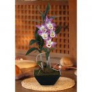 Dendrobium Pendulum w/Classic Black Vase (Purple)