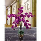 Phalaenopsis Liquid Illusion - Orchid