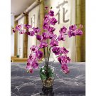 Phalaenopsis Liquid Illusion - Mauve