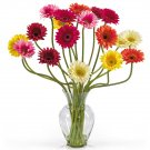Gerber Daisy Liquid Illusion - Assorted