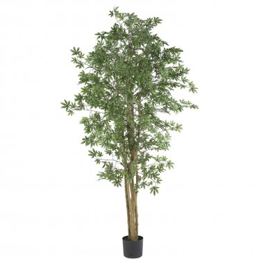 6� Japanese Maple Silk Tree