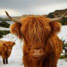 Scottish Highland Cows Animal Nature 24x18 Print Poster