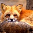 Fox Animal Close 32x24 Print POSTER