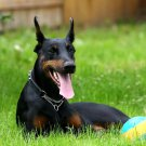 Playful Doberman Tongue Ball Dogs 32x24 Print POSTER
