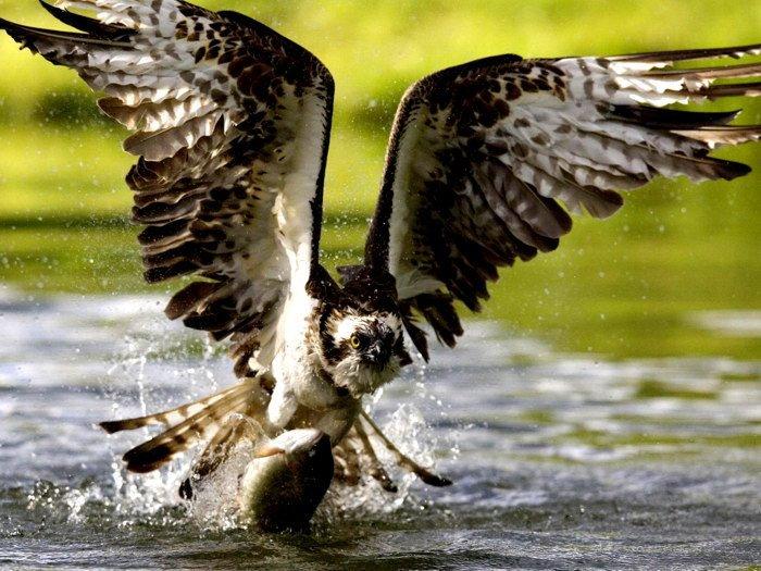Bird Of Prey Fish Water Nature Animals 16x12 Print POSTER