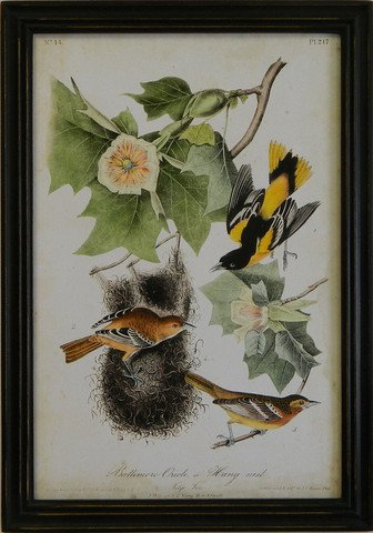 Audubon Baltimore Oriole