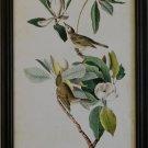Audubon Warbling Vireo