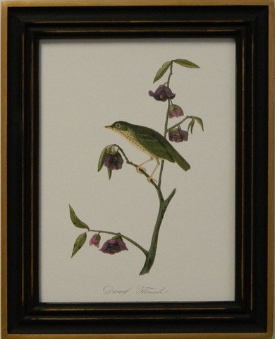 Audubon's Thrush