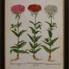 Besler Florilegium IV
