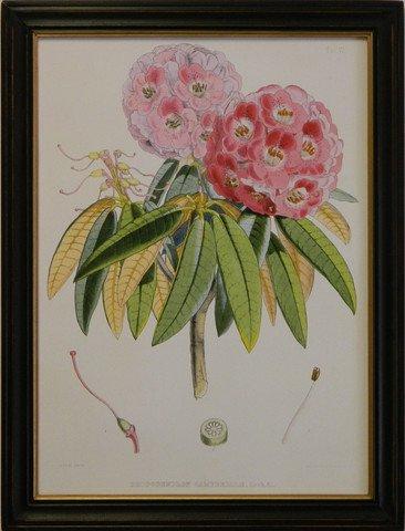 Rhododendron VI