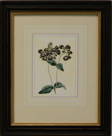 Vintage English Botanical Study Violet II